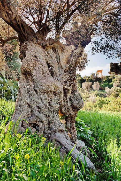 Agrigento, Valle dei Templi. Ulivo nel Giardino della Kolymbetra. Proprietà FAI. Sullo sfondo il Tempio di Castore e Polluce.  ©2012 Vince Cammarata   FOS