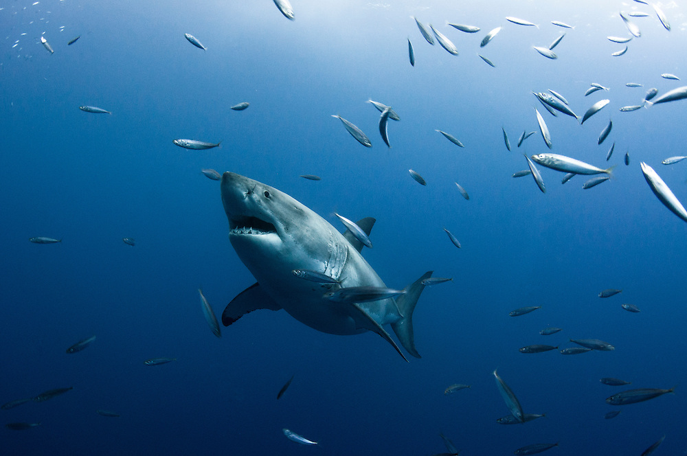 A great white shark, Carcharodon carcharias, off guadalupe Island, Mexico.