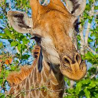 Alberto Carrera, Giraffe, Giraffa camelopardis, Chobe National Park, Botswana, Africa