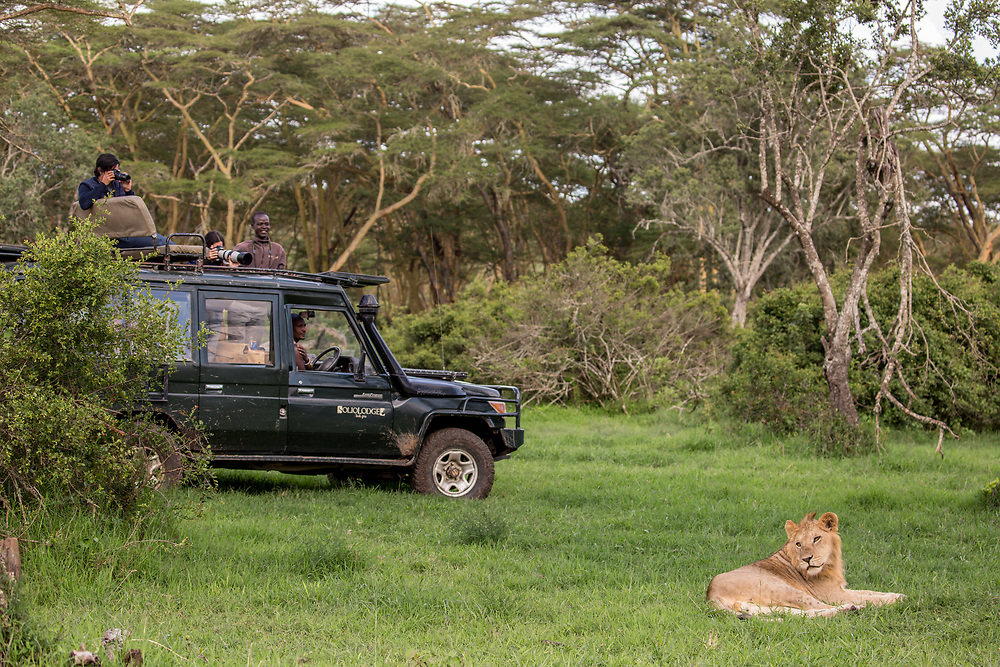 Solio guests photographing a male lion