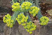 Euphorbia myrsinites / Myrtle Spurge.  Also know as Creeping Spurge or donkey tail.  Grown as a decorative plant in rock gardens, particularly valued in xeriscaping in dry areas.  Widely classified as a noxious weed, and in Oregon subject to quarantine.  The milky sap can cause significant skin and eye irritations.