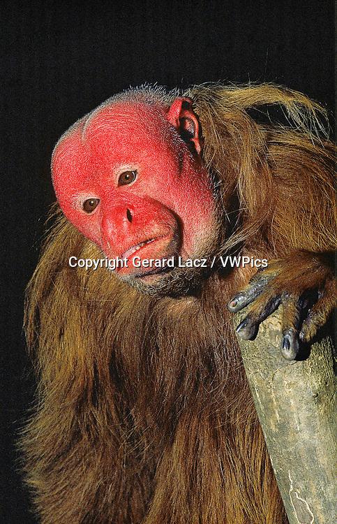 RED UAKARI cacajao rubicundus, PORTRAIT OF ADULT