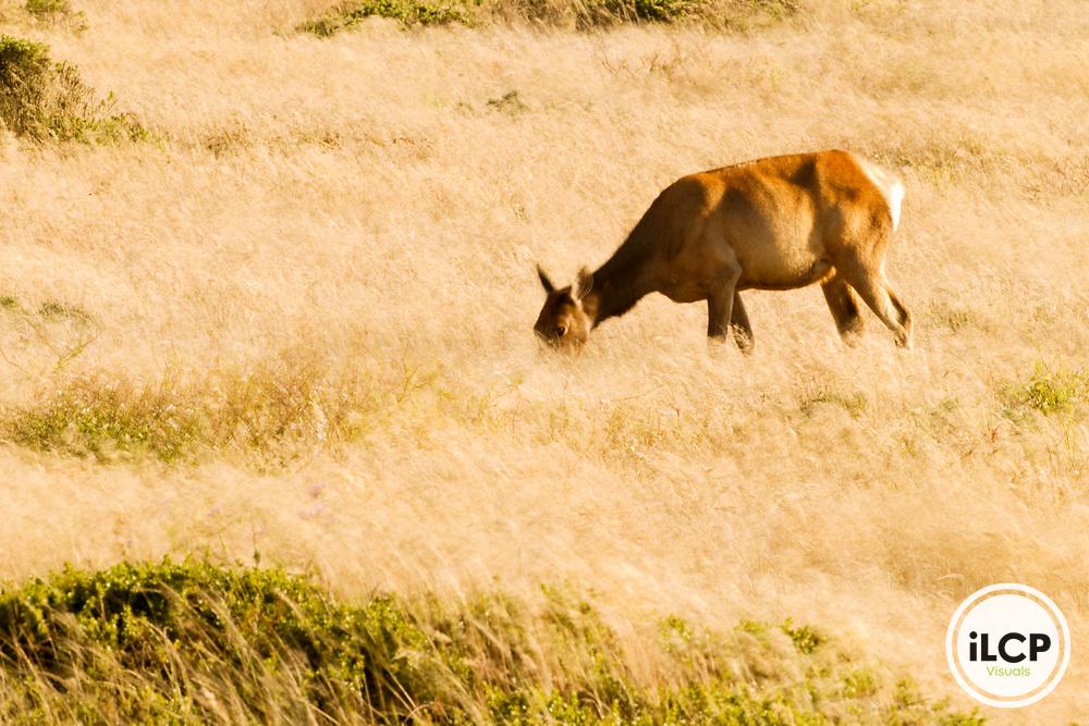 Tule Elk (Cervus elaphus nannodes) female grazing, Point Reyes National Seashore, California
