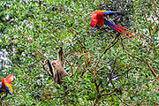 White-faced capuchin and scarlet macaws harrasing each other