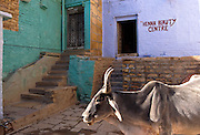 Beauty centre and sacred cow, Jaisalmer, Rajasthan, India