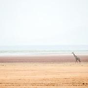 A solitary giraffe walks past the salt lake in the distance at Lake Manyara National Park in northern Tanzania.