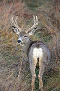 Female Mule Deer with Antlers in Habitat
