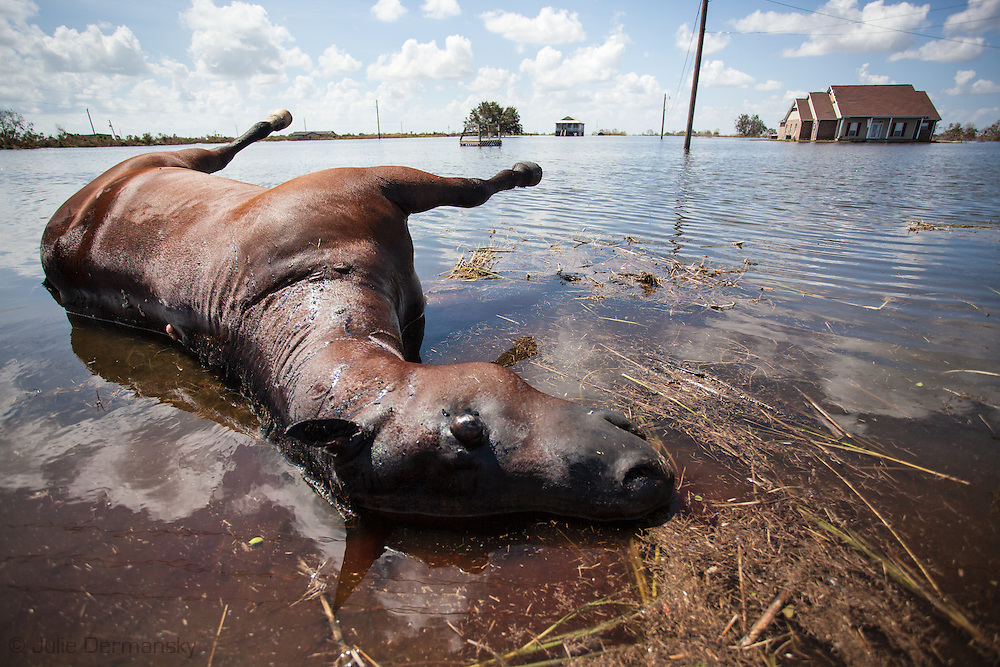 September 3, 2013, Plaquemines Parish, Louisiana, As the water recedes from flooding caused by Hurricane Isaac's storm surge, drowned cows and horses line HWY 23.