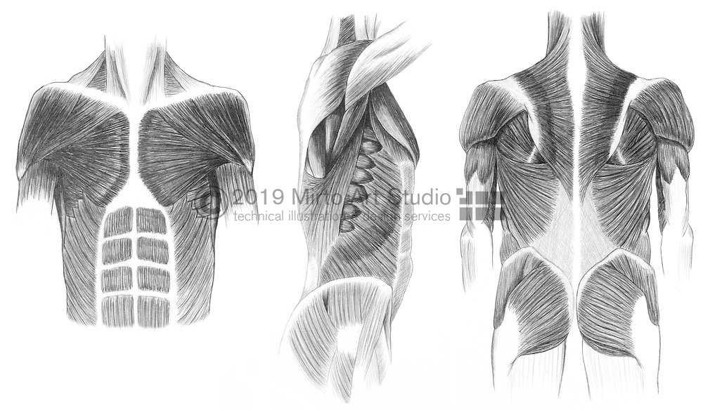 Anatomy drawings, Pencil study of the muscles of the trunk, Anterior, lateral and posterior views Referenced from Cyclopedia Anatomicae by Goyörgy Fehér and András Szunyoghy.