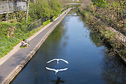 UNITED KINGDOM, London: 09 April 2020 <br /> A pair of swans fly along Regent's Canal as the sun shines this afternoon. Temperatures for Easter weekend are set to reach 24C degrees, with a reminder to the public to save lives and help the NHS by staying indoors.