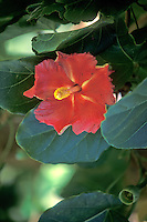 Endemic and National Flower of Puerto Rico