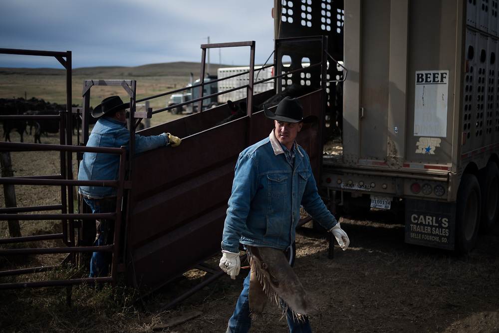 Riley Cihak walks away from a sorting chute after loading calves onto a semi for sale off land owned by a grazing association west of Meadow, SD on October 8, 2017. Grazing associations provide a way for multiple ranchers to defray the costs of land owning and usage for grazing cattle and on occasion provide access to national grasslands and grazing areas.