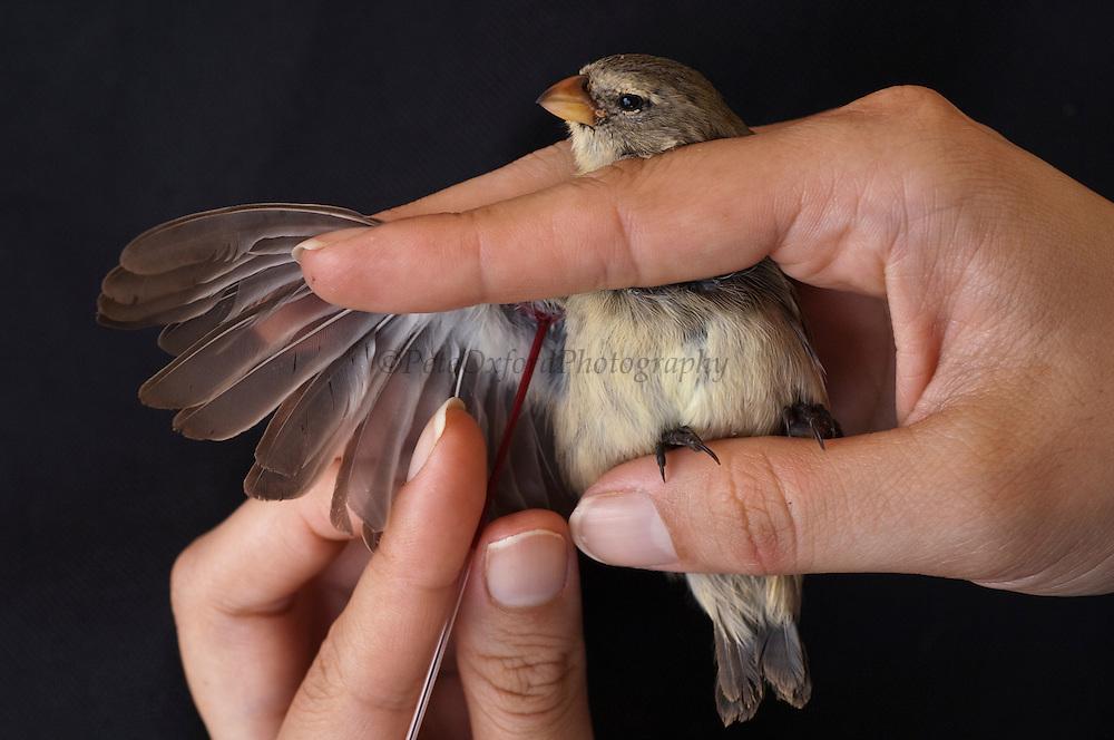 Small Tree-Finch (Camarhynchus parvulus) studied for avian pox having blood drawn, highlands of Santa Cruz Island, Galapagos Islands, Ecuador