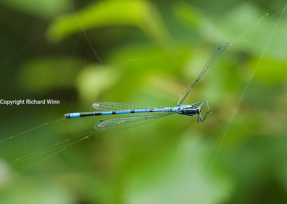 The hunter becomes the hunted. This male blue damselfly got a little close to a spiders web and was caught. Although damselflies are hunters of smaller insects, they're no match for a spider.