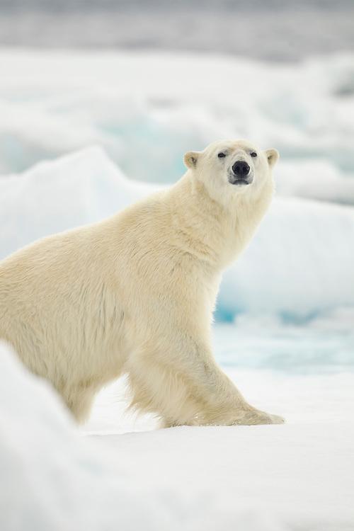Norway, Svalbard, Nordaustlandet, Polar Bear (Ursus maritimus) sitting amid broken sea ice near Phippsøya (Phi's Island) on summer morning