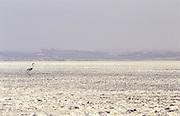 Flamenco rosa (Phoenicopterus ruber) pollo andando sobre la laguna desecada de Fuente de Piedra en un verano duro de sequía..Chick wandering through the dried lagoon on a severe summer drought..Fuente de Piedra, Malaga, Andalucia, Spain.