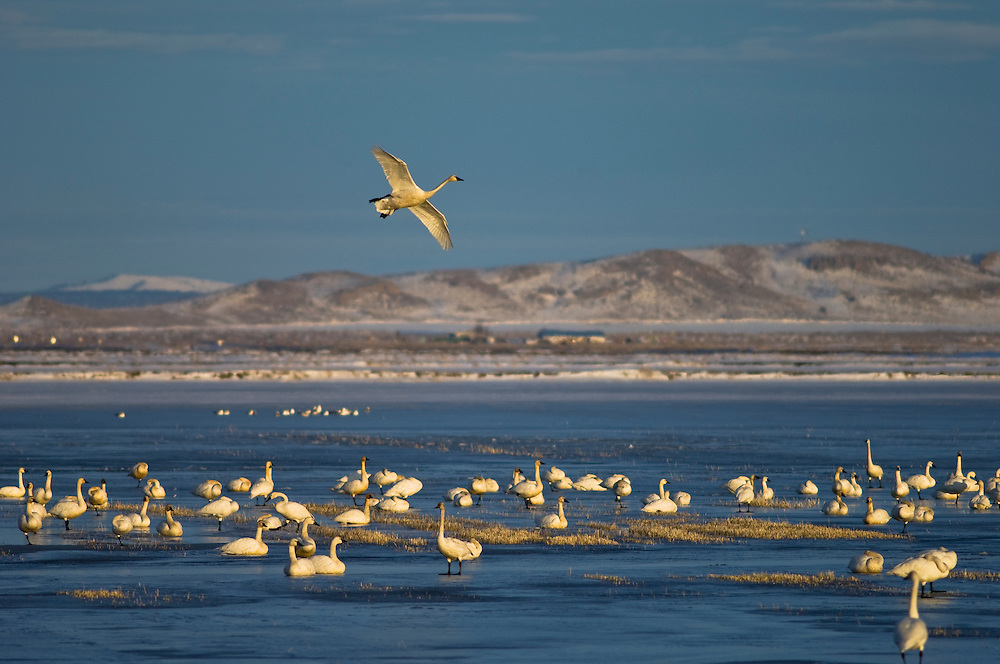 Tundra Swans at Lower Klamath National Wildlife Refuge on the Oregon-California border.