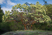 "Easily one of the most beautiful of all of the hardwoods on the Pacific Coast, the Pacific madrone is a member of the heath family and closely related to rhododendrons, and is the most northerly broadleaf evergreen trees on the continent. Early Spanish settlers in California recognized it as similar to the Mediterreanean madrone (or madroño) and later English settlers referred to it as the strawberry tree, as the sweet (and slightly toxic) berries are used to make a ""strawberry-tasting"" liquor called crême d'arbouse. The most striking feature of this tree is the wonderful bark that looks painted, with hues of red, orange, brown and black. Nothing else in the Pacific Northwest looks anything like it."