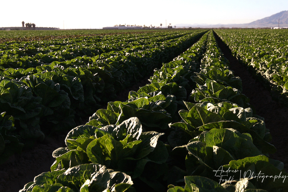 Andrew Foulk/For High Country News.Rows of greens soak up the morning sun just north of the Salton Sea..