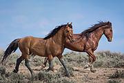 Wild horses, Sand Wash Basin, Colorado