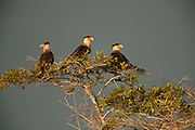 Crested Caracara (Polyborus plancus) <br />
