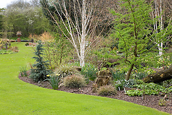 Larix decidua 'Little Bogle' syn L. europaea (larch)  with Betula utilis var. jacquemontii (silver birch) and spring bulbs. View to terracotta urn focal point