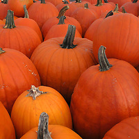 North America, USA, Vermont. pumpkins.