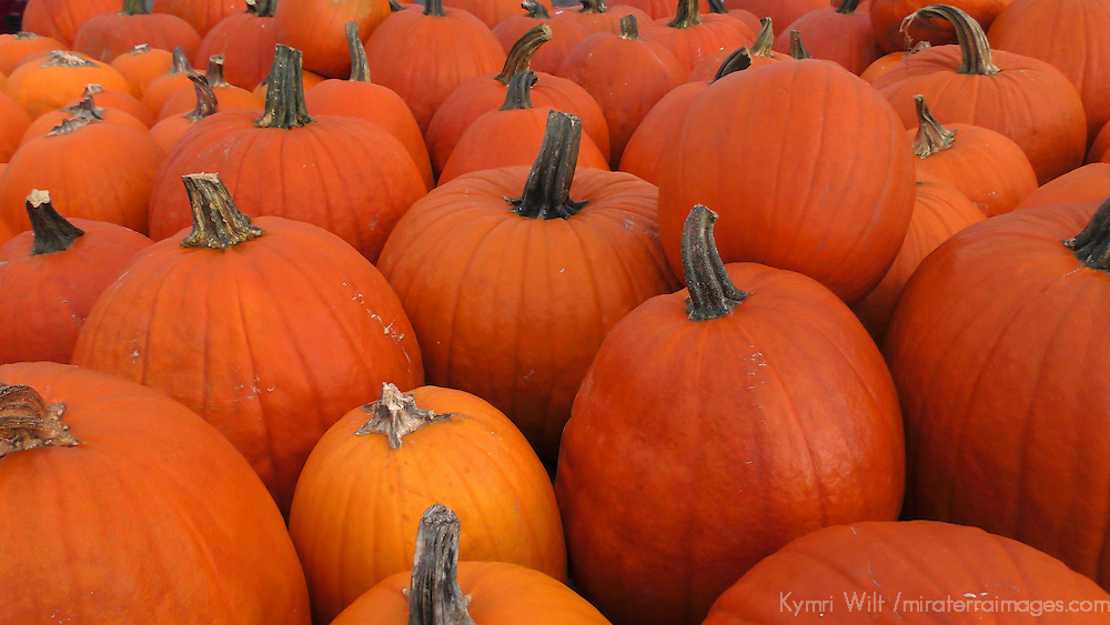 North America, USA, Vermont. pumpkins.