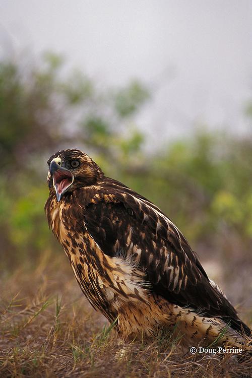 juvenile Galapagos hawk, Buteo galapagoensis, Espanola or Hood Island, Galapagos Islands, Ecuador, ( Eastern Pacific )