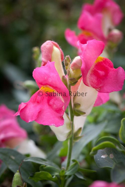 Antirrhinum majus 'Kimosy Delicate Rose' - snapdragon