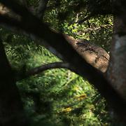 Water Monitor Lizard (Varanus salvator) basking in Huai Kha Khaeng WS, Thailand
