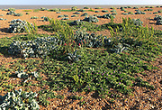 Sea Pea plant, Lathyrus japonicus, valerian, and sea kale plants, Shingle Street, Suffolk, England, UK