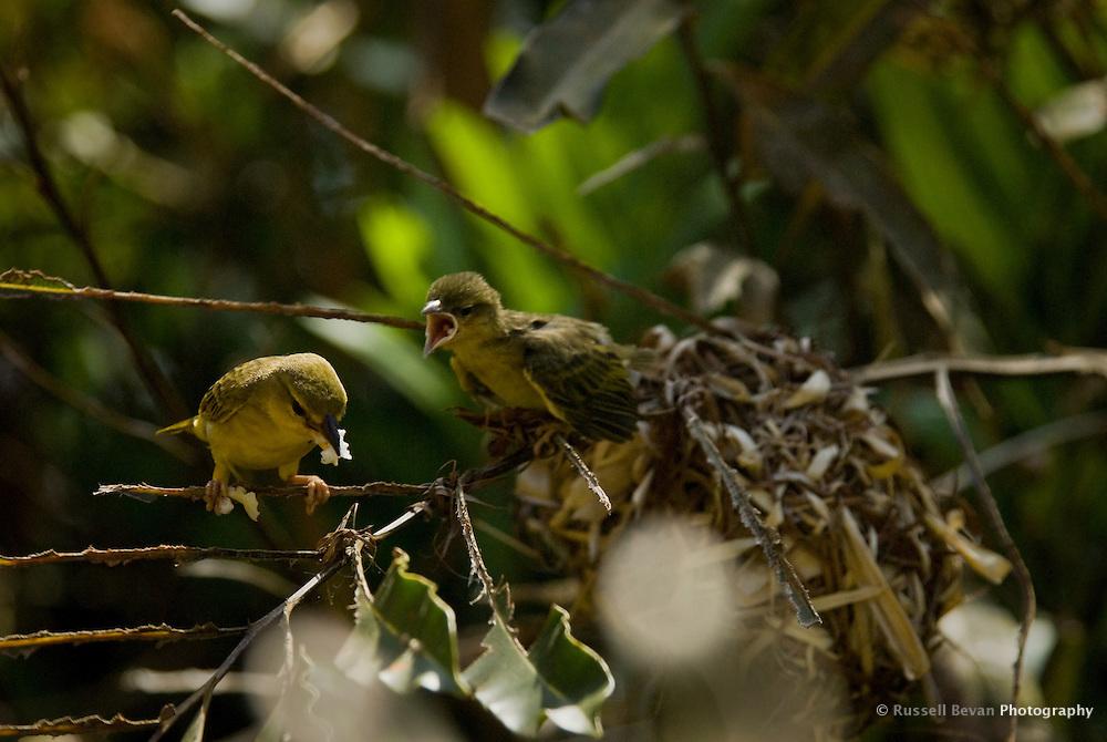 A female Golden Weaver Bird feeding her chick in Mombasa, Kenya