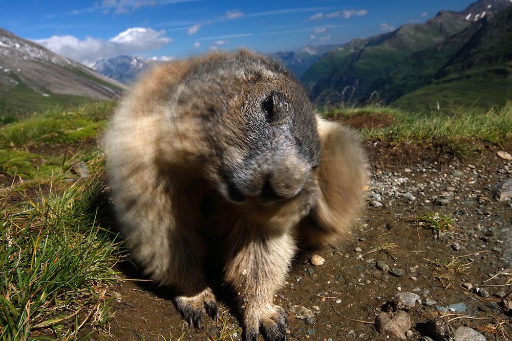 Alpine Marmot (Marmota marmota) scraping, Hohe Tauern National Park, Carinthia, Austria