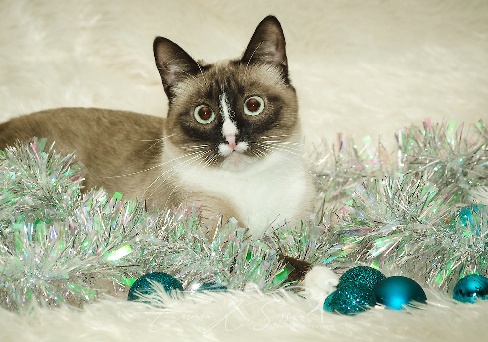 Twinkie, a one-year-old Siamese cat, poses with Christmas decorations, Dec. 26, 2014, in Coden, Alabama. (Photo by Carmen K. Sisson/Cloudybright)