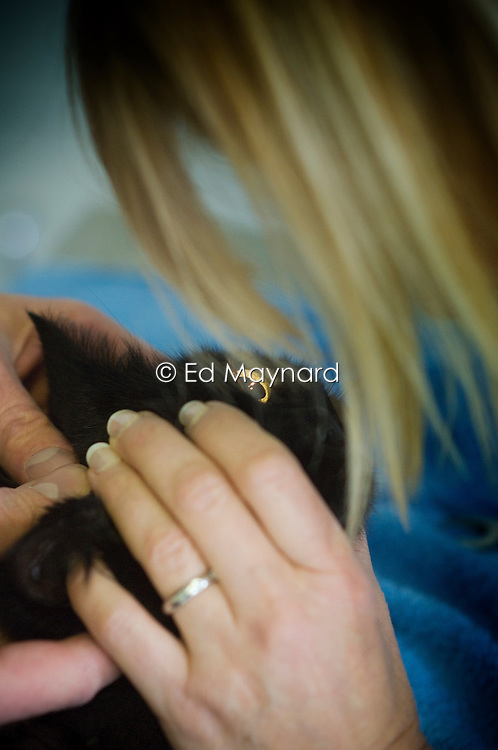 Veterinary surgeon checks the eyes of a cat, Arnwood Veterinary Surgery, Nottingham, England, UK.