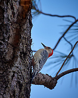 Red-bellied Woodpecker on a tree. Weedon Island Nature Preserve, Pinellas County, Florida Image taken with a Nikon D200 camera and 18-200 mm VR lens (ISO 200, 200 mm, f/5.6, 1/350 sec)