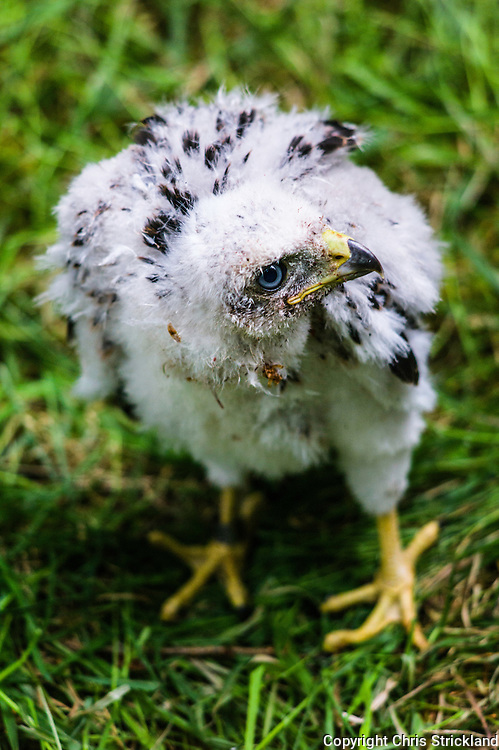 Selkirk, Scottish Borders, UK. 18th June 2015. A Goshawk chick around three weeks old looks inquistive as it waits to be ringed by licensed Raptor surveyors in order to monitor the birds population levels.