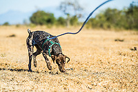 German Short-Haired Pointer Anti-Poaching Tracker Dog, South African Wildlife College, Limpopo Province, South Africa