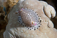 Cowries have a mantle of tissue that extends over their shell.  This is normally paterned and marked to provide camouflage.  In this case the cowrie lives and feeds on leather corals and the mantle is spotted to resemble the coral.