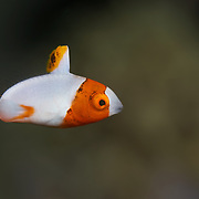 Orange and white juvenile bicolor parrotfish (Cetoscarus bicolor)