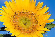 Bees pollinating a flowering sunflower in morning sun near Ryeford, Queensland, Australia <br />