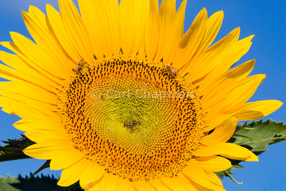 Bees pollinating a flowering sunflower in morning sun near Ryeford, Queensland, Australia