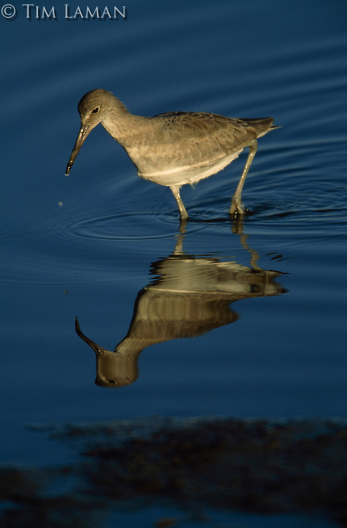 A Willet (Catoptrophorus semipalmatus) and its reflection in rippled water.