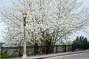 White blossoms and historic luminaire in Mount Tabor Park, Portland, Oregon, USA.