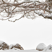 Beech branche against white background from snow with in the foreground some rocks