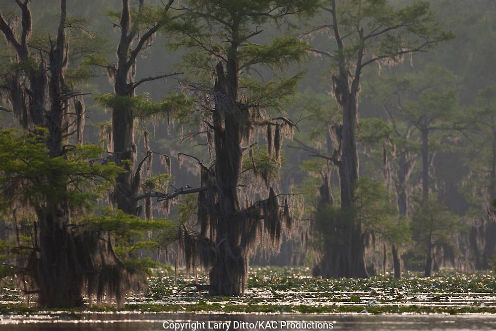 Bald Cypress (Taxodium distichum) at sunrise on Caddo Lake, Texas