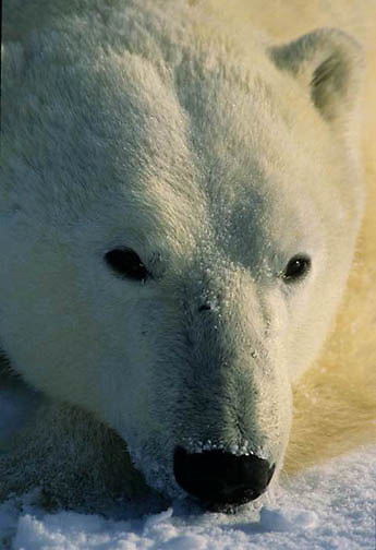 Polar Bear, (Ursus maritimus) Closeup portrait of adult resting. Churchill, Manitoba. Canada.