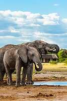 Elephant at a watering hole, Nxai Pan National Park, Botswana.