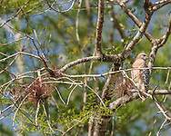 Red-shouldered hawk hunting from high perch in wet cypress forest in Big Cypress National Preserve. Bromeliads and lichens grow on the cypress branches. © 2007 David A. Ponton